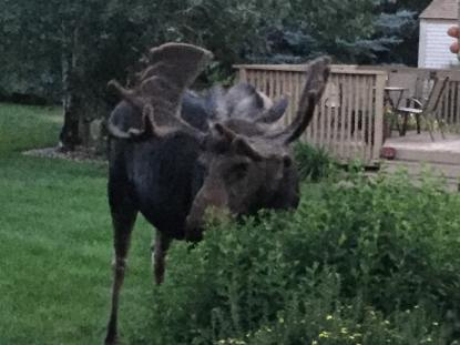 A moose eating the bushes outside our Park City home.
